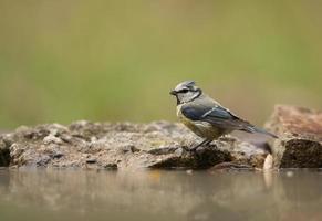 Blue Tit  (Parus caeruleus) take a shower