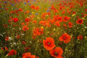 Poppy field in Ireland. photo