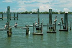 Pelicans at the river