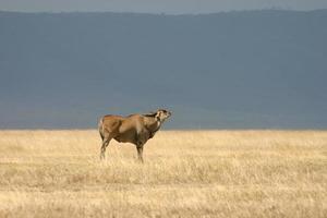 Common Eland (Taurotragus oryx) Antelope, Ngorongoro, Tanzania