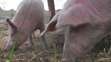 Happy pigs grunting and waiting for food video