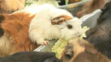 Guinea pigs video