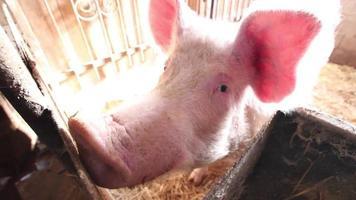 cerdo curioso video