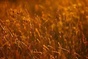 sunset, golden background summer grass photo