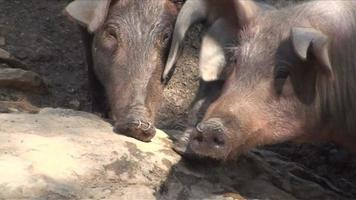 Three Pigs in a Farm in a Sunny Day video
