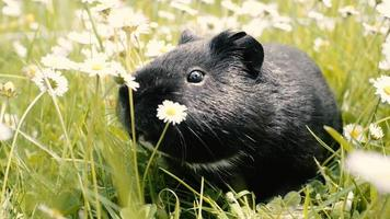Guinea pig (cavy) in the grass eating.