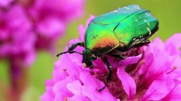 großer grüner Käfer video