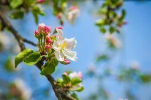 apple tree flowerson twiig photo