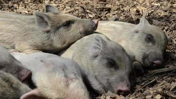 sleeping young piglets