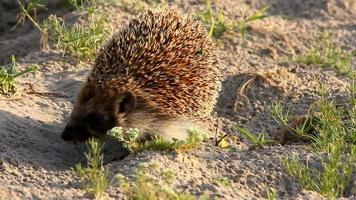 West European Hedgehog (Erinaceus europaeus)