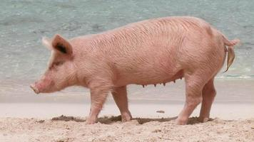 Female Pig on a Beach