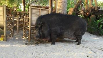Big black pig is walking by sand. video