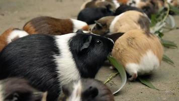 porquinhos-da-índia comendo eucalipto