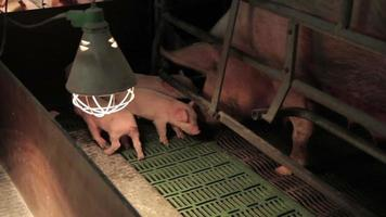 pig farm in Eastern Europe video