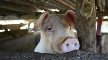 Close up of a pig in a barn video