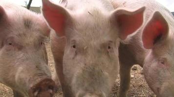 cerdos felices llorando por comida