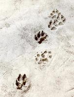 empreintes de pattes dans le ciment. salut res