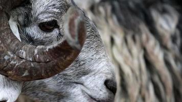 oveja blanca con cuernos grandes comiendo