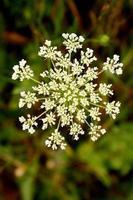 Green beauty : Snowflake shape flowers photo