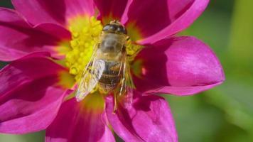 mosca grande en flor de dalia, macro