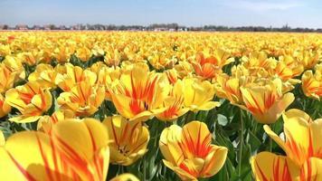 De cerca: campo interminable de impresionantes tulipanes amarillos a rayas rojas balanceándose en el viento