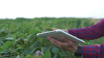 Farmer using digital tablet computer in cultivated soybean crops field, modern technology application in agricultural growing activity, selective focus video