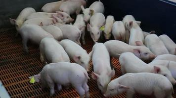 Fattening pigs in the pen video
