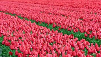 campos de flores de tulipanes video