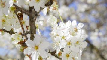 Dolly: abeille pollinisation arbre fruitier en fleurs close-up