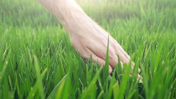 mão do agricultor em campo cultivado de trigo verde jovem