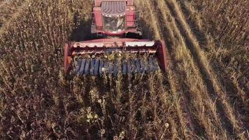 Combine harvests of sunflower. View from above, one can see the mechanism of the harvester, which cuts off the stems. Combine fast rides on the field