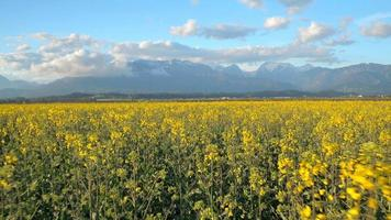 AERIAL: Young yellow vast oilseed rape flowers with mountains