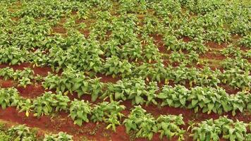Aerial shot on tobacco plantation of Thailand