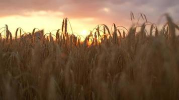 DOF CLOSE UP: Sunbeams shining through dry golden wheat ear on field at sunset
