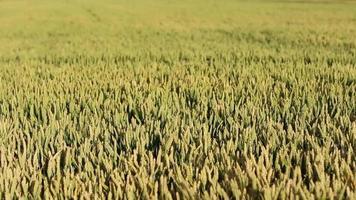 Weizenkörner auf Wind geringe Schärfentiefe video