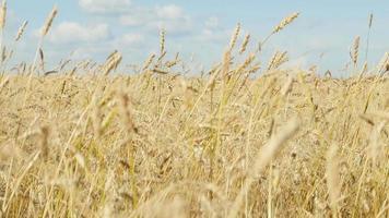 Wheat field swings on wind video