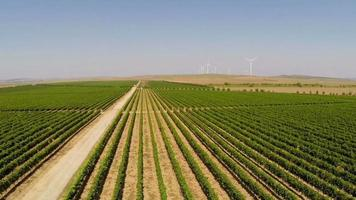 Beautiful vineyards landscape with wind turbines