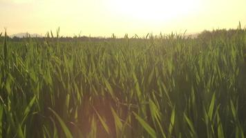 da vicino: giovane raccolto verde lascia sul campo di terreni agricoli sventolando nella brezza estiva