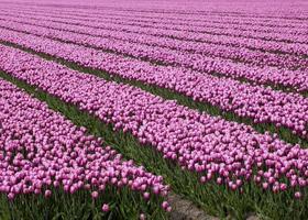 Ocean of pink tulips photo