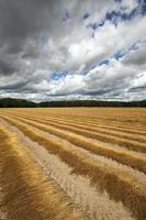 Flax field . autumn
