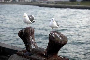 gaivota da califórnia