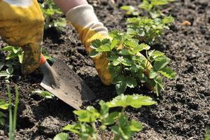 Strawberry  Planting photo