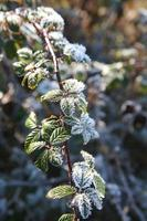 frosted plant photo