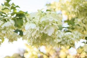 planta de marfim