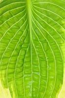 Texture of fresh hosta green leaf