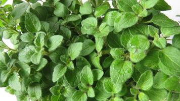 Oregano plant photo