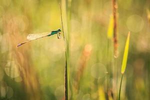 libélula en planta foto