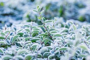 Frost covered plant photo