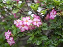 Adenium Flowering Plants. photo