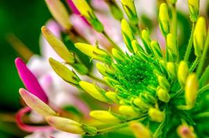 Spider Plant flower photo